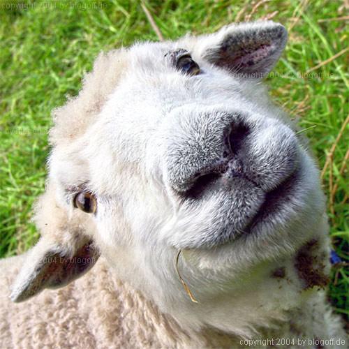 grinsendes Schaf